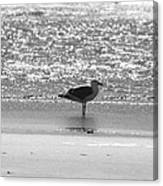 Black And White Gull Canvas Print