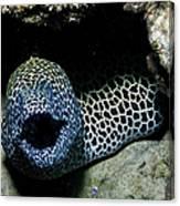 Black And White Honeycomb Moray Eel Canvas Print