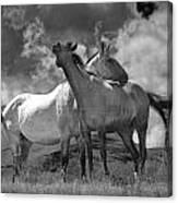 Black And White Photograph Of Montana Horses Canvas Print