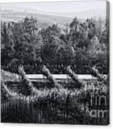 Black And White Vineyard Sunrise  Canvas Print