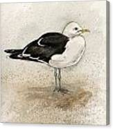 Black Backed Gull  Canvas Print