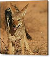 Black-backed Jackal Canvas Print