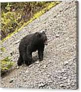 Black Bear 1893 Canvas Print