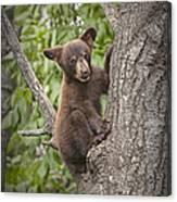 Black Bear Cub Hanging On Canvas Print