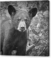 Black Bear Cub In A Pine Tree Canvas Print