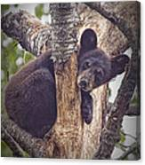 Black Bear Cub No 3224 Canvas Print