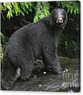 Black Bear Neets Bay Alaska Canvas Print