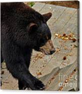 Black Bear Stepping Up In The World Canvas Print
