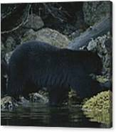 Black Bear With Her Young Cub Tagging Canvas Print