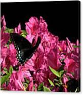 Black Beauty In Flight Canvas Print
