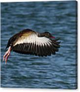 Black-belled Whistling-duck In Flight Canvas Print
