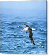 Black-browed Albatross Canvas Print