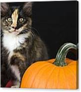 Black Calico Kitten With Pumpkin Canvas Print