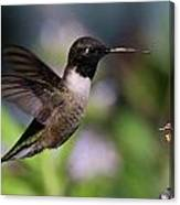 Black Chinned Hummingbird Canvas Print