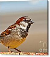 Black-chinned Sparrow Canvas Print