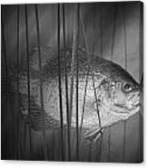 Black Crappie Or Speckled Bass Among The Reeds Canvas Print