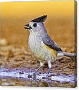 Black Crested Titmouse Canvas Print