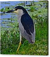 Black Crowned Night Heron II Canvas Print