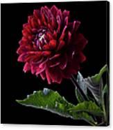 Black Dahlia Canvas Print