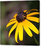 Black Eyed Susan With Young Bee Canvas Print