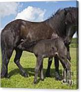 Black Icelandic Horse With Foal Canvas Print