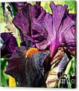 Black Iris Canvas Print
