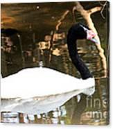 Black Neck Swan Canvas Print