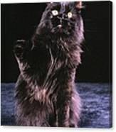 Black Persian Cat Reaches Canvas Print