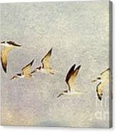 Black Skimmers On The Move Canvas Print