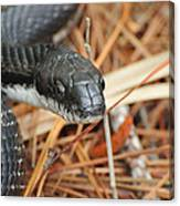 Black Snake Canvas Print