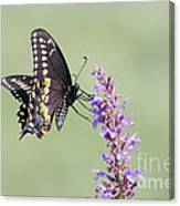 Black Swallowtail Butterfly Feeding Canvas Print