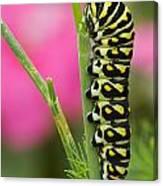 Black Swallowtail Caterpillar On Garden Canvas Print