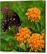 Black Swallowtail Visiting Butterfly Weed Din012 Canvas Print