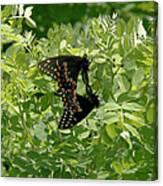 Black Swallowtails Mating Canvas Print