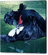 Black Swan Grooming Canvas Print