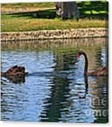 Black Swan's In Palm Springs Canvas Print