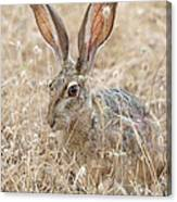 Black-tailed Hare Canvas Print