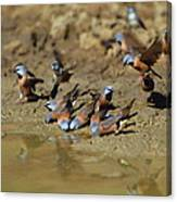 Black-throated Finches At Waterhole Canvas Print