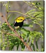 Black-throated Green Warbler Canvas Print