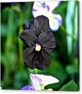 Black Violet Canvas Print