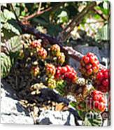 Blackberry On The Rock 02 Canvas Print