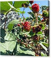 Blackberry On The Rock 03 Canvas Print