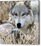Blending Wolf  Canvas Print