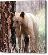 Blonde Bear Canvas Print