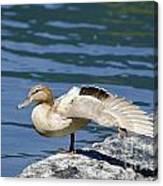 Blonde Duck Canvas Print