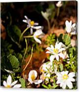 Bloodroot And Spring In The Woodland Canvas Print