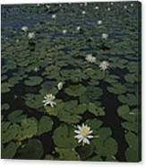 Blooming Water Lilies Fill A Body Canvas Print