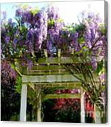Blooming Wisteria  Canvas Print