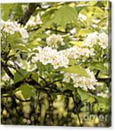 Blossoming Hawthorn Tree Canvas Print