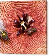 Blowflies On Stapelia Canvas Print